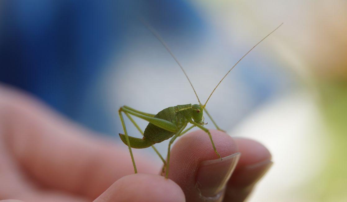 grasshopper in a hand